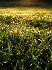 Golden Dew (Jason A. Samfield) Tags: morning light sun sunlight beautiful field grass composition golden early dewdrops dof bokeh gorgeous earlymorning depthoffield dewdrop dew grasses lovely sunrays depth sunbeam sparkling goldenhour morningdew sunbeams goldenlight wetgrass dewdroplets bokehlicious morningdewdrop wetgrasses morningdewdrops goldendew dewdroplet morningdewdroplets morningdewdroplet