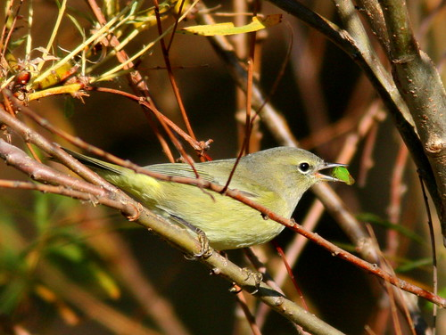Orange-crowned Warbler 3-20101017