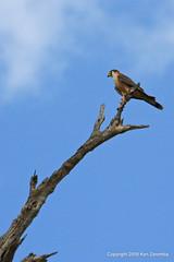 Taita Falcon, Selous Game Reserve Tanzania, 1/07/09 (Ken Zaremba) Tags: africa falcofasciinucha falconidae falconscaracaras geography raptors selous selousgamereserve taitafalcon tanzania animal bird birdofprey