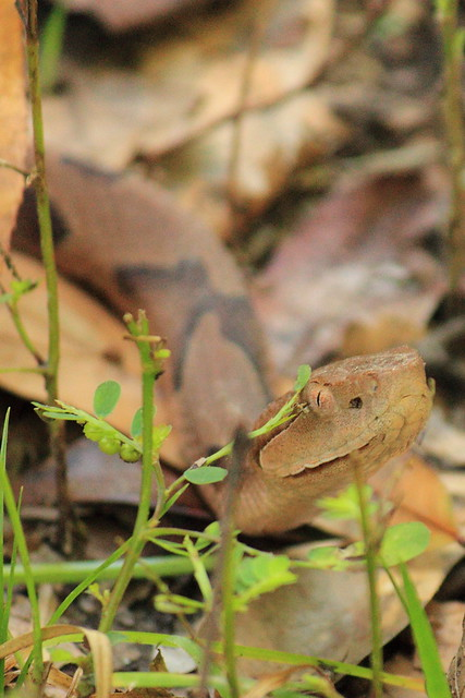 Copperhead Head Shot