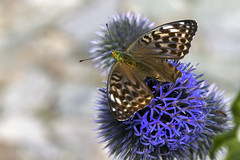 Do not fly away.. (Sir Willy) Tags: italy panorama dog alps flower macro green love nature animal canon butterfly eos photo san italia swiss confine william agosto 7d svizzera bernardo alpi montagna montain ferie farfalla insetto italiano valledaosta passo vicino ef100macro cantone diodati sirwilly