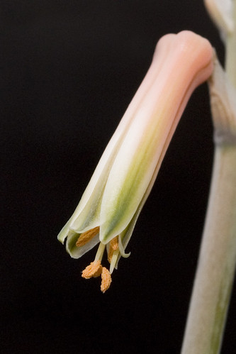 Aloe Flower Closeup