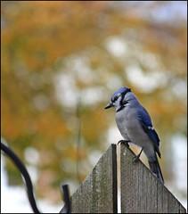 Backyard Birds (Sue90ca Much Too Busy!!) Tags: bird canon rebelxsi
