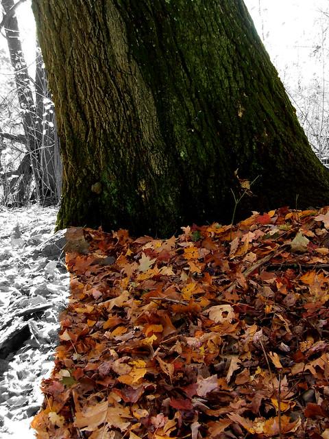 the big oak