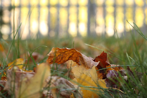 45/52: golden leaf, golden fence