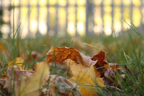 45/52: golden leaf, golden fence