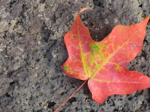 Turning leaf on lava rock