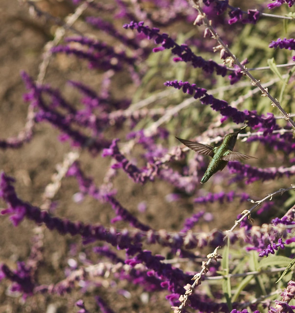 Anna's Hummingbird (Calypte Anna) feeding at Mexican Sage (Salvia leucantha) bush