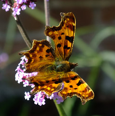 A Comma butterfly in the walled garden at the Vyne, near Basingstoke. (Beardy Vulcan) Tags: autumn england fall animal fauna butterfly insect hampshire september lepidoptera nationaltrust coma basingstoke 2010 thevyne polygoniacalbum sherbornestjohn loddonvalley