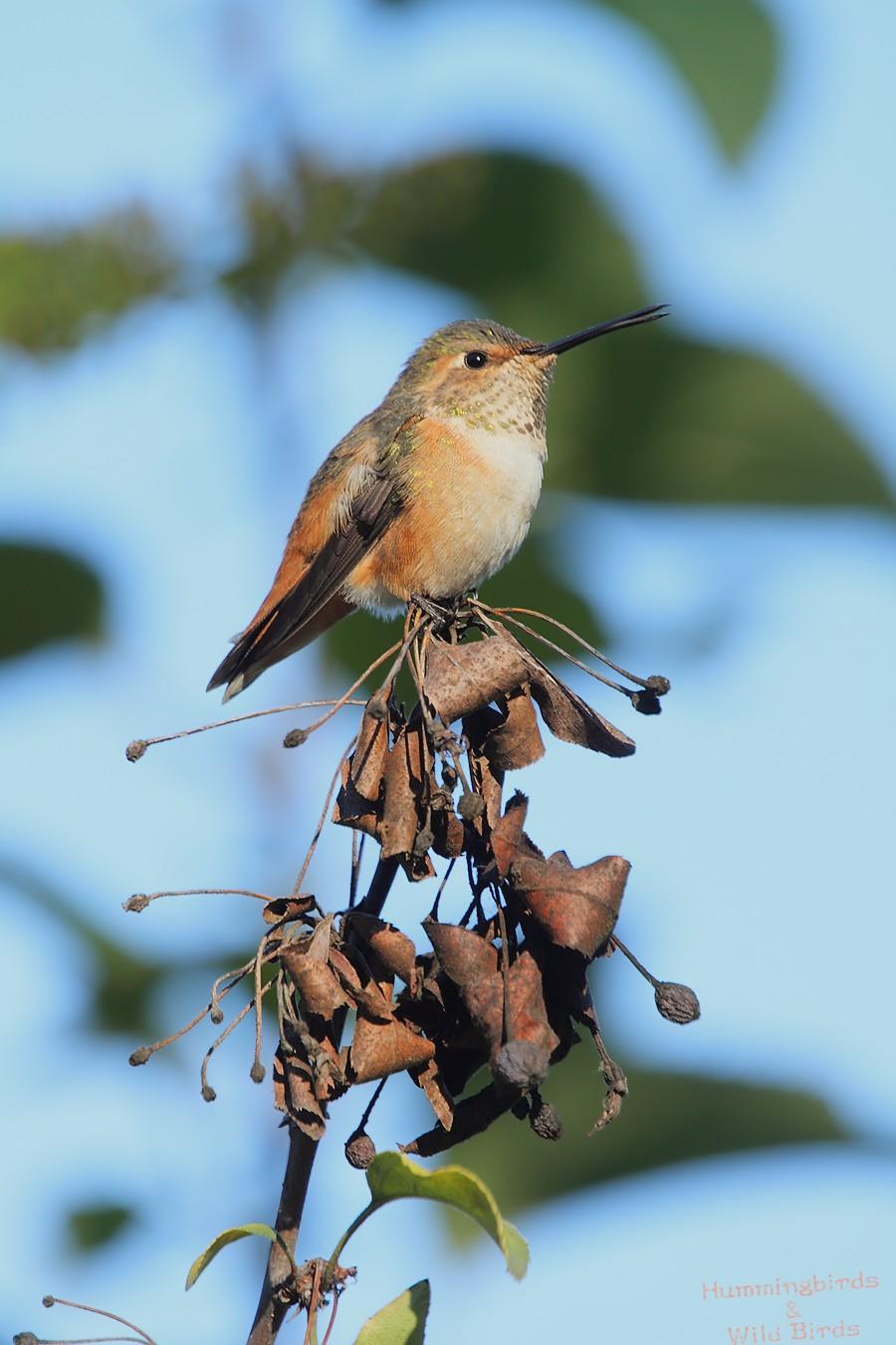 Allen's Hummingbird 111310