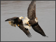 Bald Eagle Chase, and Battle for the Shad (Eric C. Reuter) Tags: nature birds wildlife birding baldeagle maryland novermber 2010 susquehana conowingo susquehanariver conowingodam