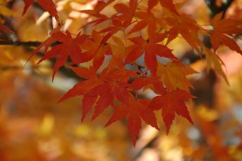 Acer palmatum, Bonsai, Informal upright style (Moyogi)
