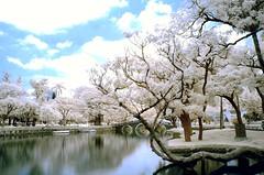 in Taiwan Taichung .  .Taichung Park IR   IR DSC_8268 (Ming - chun ( very busy )) Tags: park bridge wallpaper sky lake tree water landscape ir nikon d70 d70s taiwan infrared taichung     infravermelho     r72 infrarot    infrarrojos     infrapuna infrarood infrarouge  infrarossi   inframerah   infravrs infraerven