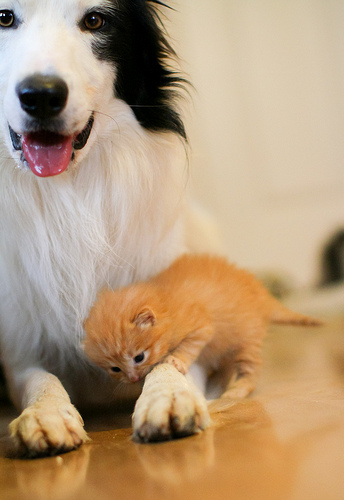 cute dog babysitting ginger kitten border collie