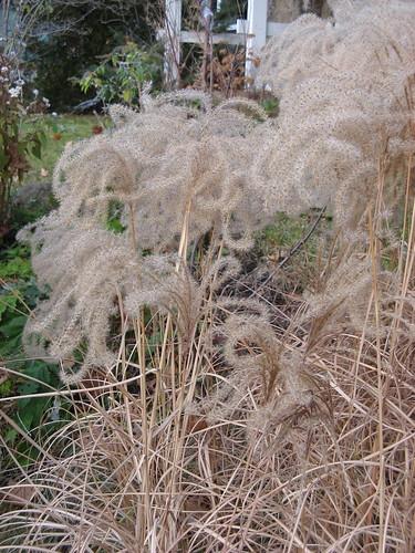 Wispy Grasses