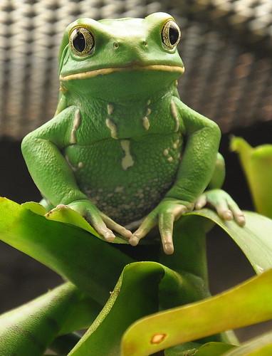 Froggy Glare