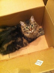 I'm Helping!: Moving Edition (someToast) Tags: cat moving box packing tabby molly mainecoon