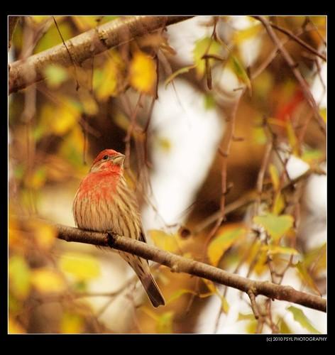 House Finch (Carpodacus mexicanus)