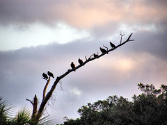 vultures (HappyYoga) Tags: vultures jupiterinletduboisparkjupiterflorida