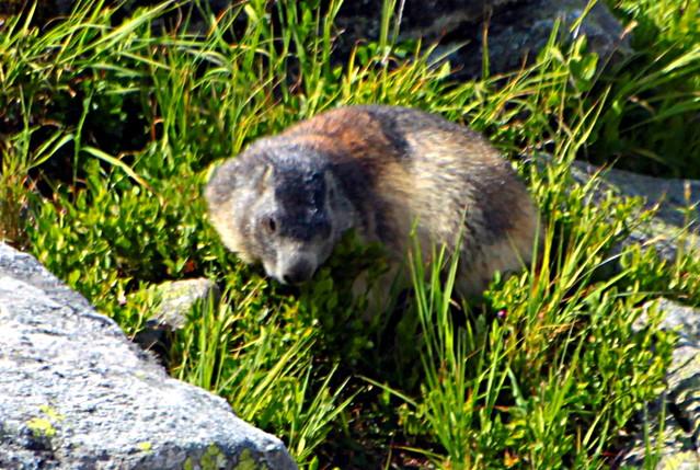 La marmotte à l'Aiguille-rouge