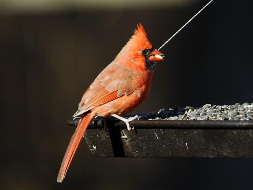 cardinal in the sun