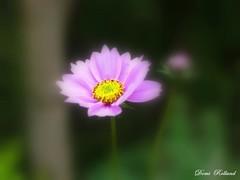 Danseuse (Domi Rolland ) Tags: france nature fleur jaune automne europe violet vert le chteau bonheur tendresse douceur aveyron brousse midipyrnes