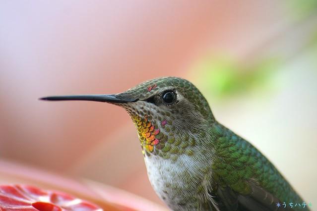 Anna's Hummingbird 112310-3