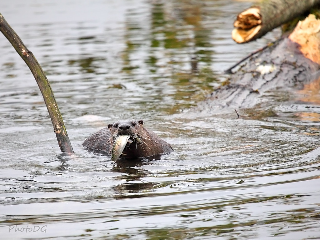 Otter with Rainbow Trout, Lafarge Lake, Coquitlam BC