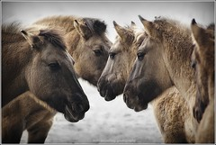 wild horses in winter..... (Zino2009 (bob van den berg)) Tags: wild horses cold nature closeup standing frozen frost moody head many creative windy together icy herd wildhorses deventer classy uiterwaarden konik greatphotographers konikpaarden standingtogether edeldier saturdymorning keepingeachotherwarm zino2009 paardenhoofden ossenwaarden bobvandenbergphotography