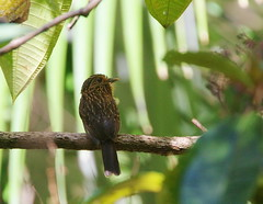 Crescent-chested Puffbird - 4X4 Trail, Regua, BR (delaware.dennis) Tags: brazil regua crescentchestedpuffbird 912010