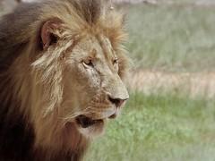 Lion (Arno Meintjes Wildlife) Tags: africa park camp wallpaper nature animal southafrica bush wildlife lion safari bigcat predator rsa krugernationalpark mpumalanga krugerpark kruger big5 knp pantheraleo parkstock meintjes arnomeintjes louisemeintjes