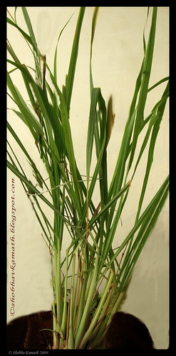 Lemon Grass 2