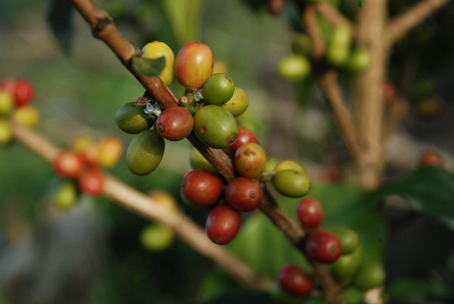A Visit to Akha Ama Fair Trade Coffee Farm, Thailand