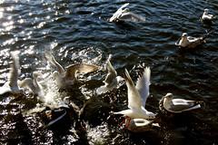 a hofvijver fairy tale (marie-ll) Tags: nederland denhaag hofvijver meerkoeten zeemeeuwen hofvijverfairytale