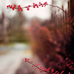 They say it's your birthday  (pixelmama) Tags: autumn red fall fence bokeh gettyimages ironfence hff happybirthdaystephanie twobranches roseglowbarberry fencefriday