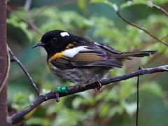 Hihi - male - GG-?? (digitaltrails) Tags: stitchbird hihi karoribirdsanctuary karori bird sanctuary new zeland karorisanctuary notiomystiscincta newzealand zealandia