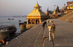 Perros (Nebelkuss) Tags: india uttarpradesh varanasi benarés asia perros dogs ghats rio river fujixt1 fujinonxf23f14 namaste