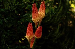 Kniphofia (kiareimages1) Tags: kniphofia flowers fleurs fiori colors colori couleurs images imagery immagini giardini garden jardin jaune orange macro macroflowers