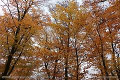 All yellows of autumn #2 (srkirad) Tags: autumn fall outdoor forest trees yellow leaves cloudy high travel serbia srbija mountain fruškagora vojvodina