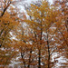All yellows of autumn #2