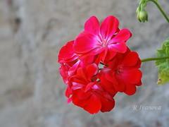 Red (R_Ivanova) Tags: nature macro flower flowers pelargoniumpeltatum plant colors color red garden summer fujifilmfinepix rivanova риванова цветя природа лято сакъзче