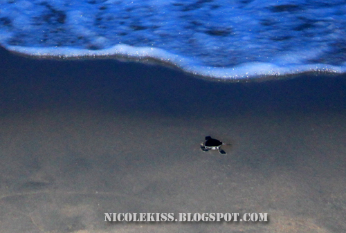 nicole baby turtle running back to sea