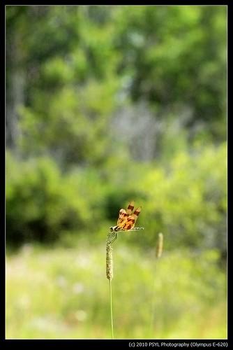Halloween Pennant (Celithemis eponina)