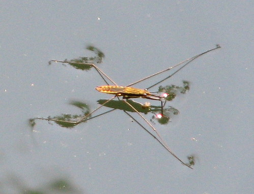 see middle tennessee water strider   the bug that can walk on water