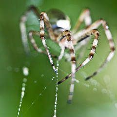 Nightmare - The end is close - Argiope bruennichi - Wasp spider. (Domdomfrommionnay) Tags: macro spider legs web hunter nightmare pattes araigne chasseur canonefs1785mmf456isusm kenkoextension canoneos50d