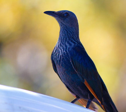 Red-winged Starling (female)