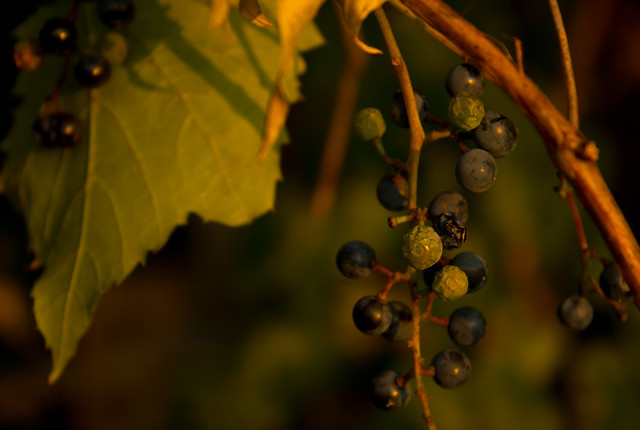 Grapes at Dawn
