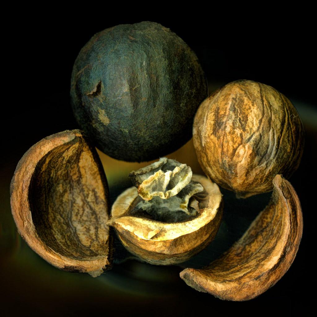 Anatomy of a Hickory Nut