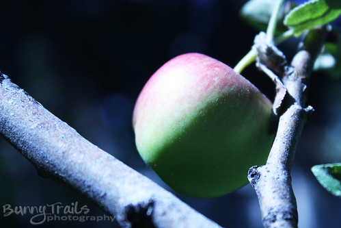 242-apple