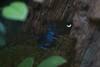 MNZoo 87 (tfangel) Tags: animals zoo frog poison minnesotazoo tropicstrail